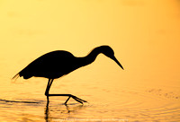 Little Blue Heron fishing at sunrise at Bunche Beach, March 2018